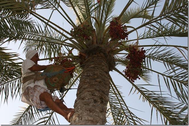 حجي عيسى الحاج يخرف إحدى النخيل بمزرعته