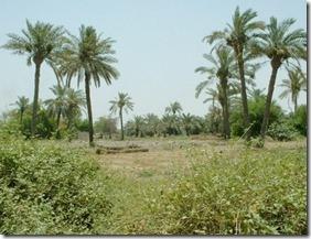 palmtree-7